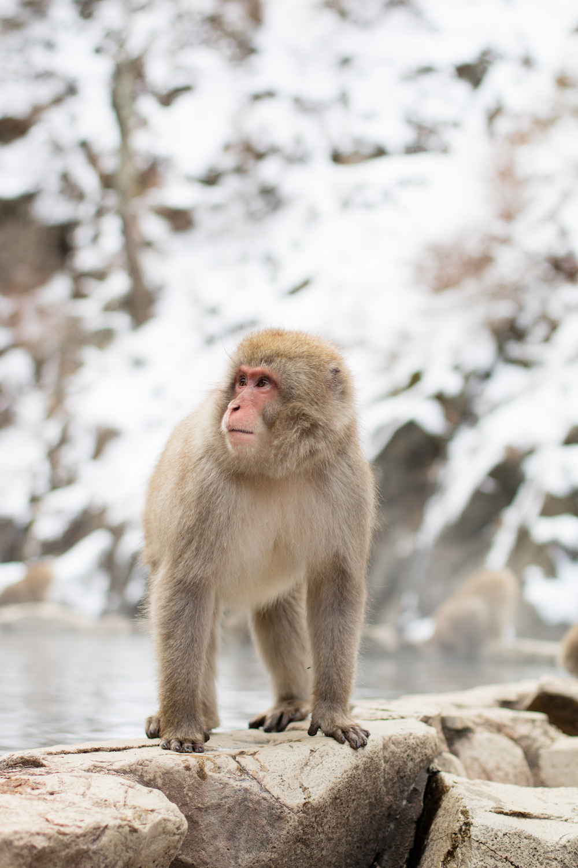 schnee-affen-berg-japan-reisetipp
