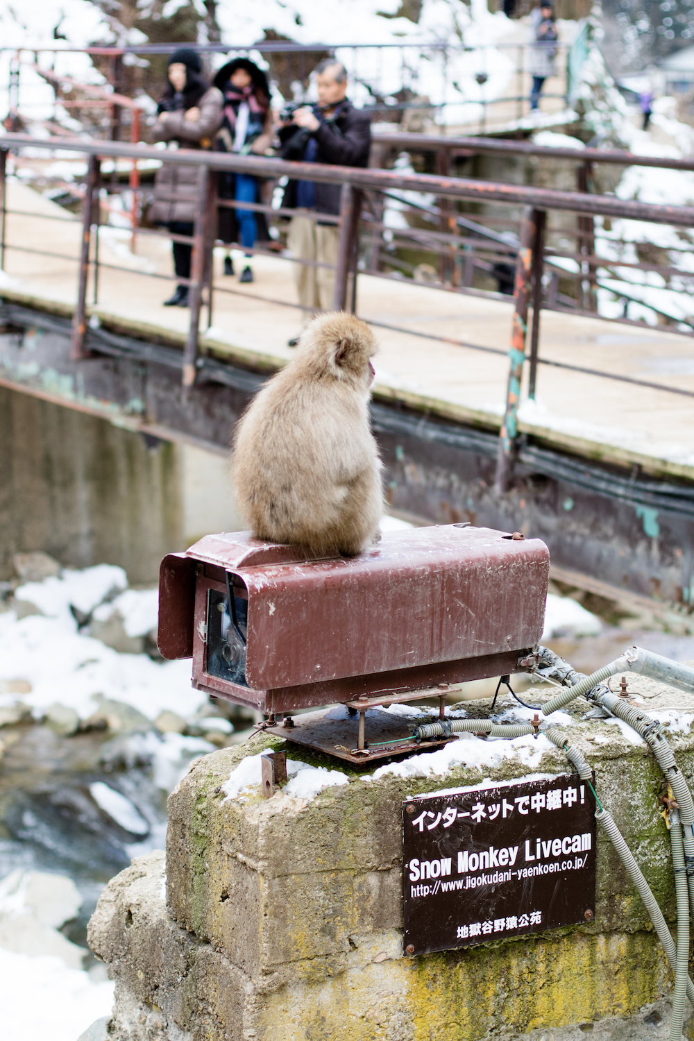 snow-monkey-live-cam-japan
