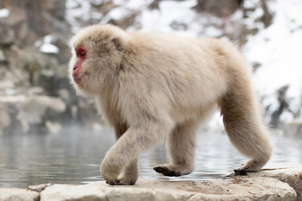 Travel Diary Yudanaka Snow Monkey Park + Shibu Onsen